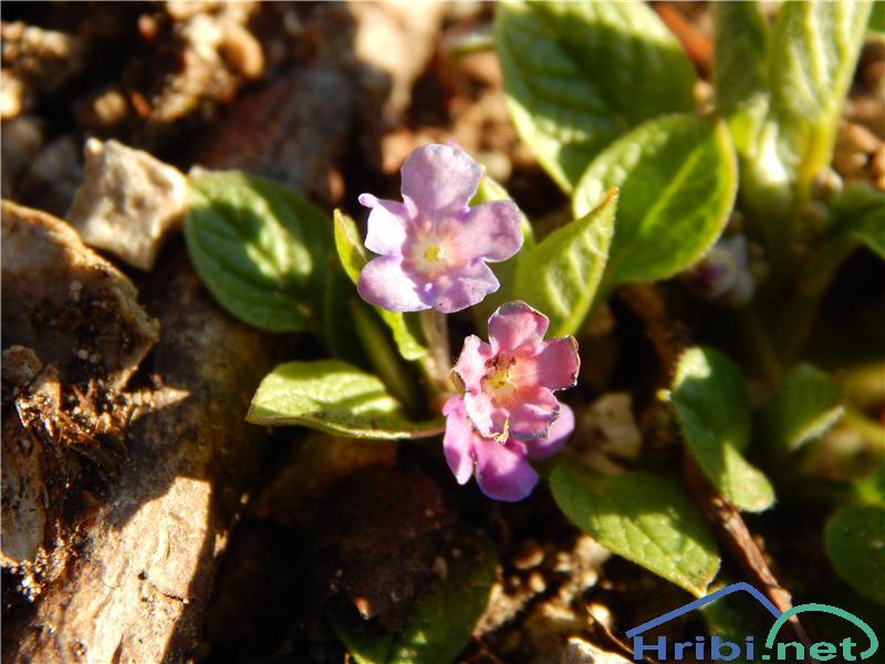 Spomladanska torilnica (Omphalodes verna) - PictureSpomladanska torilnica (Omphalodes verna)