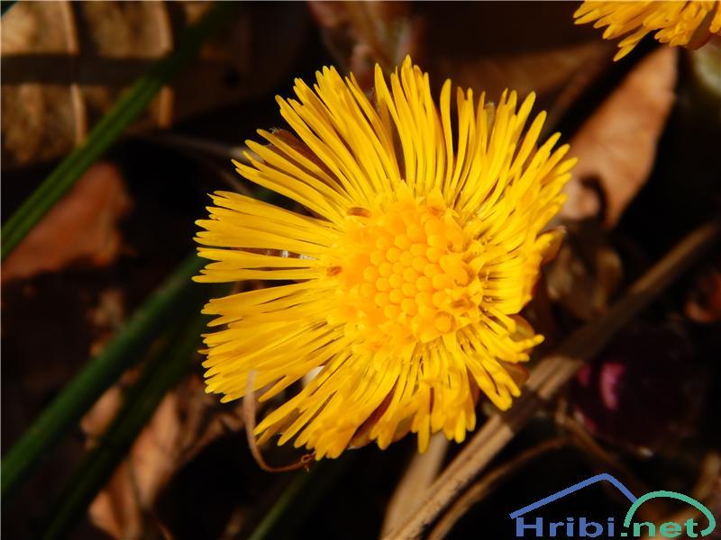 Navadni lapuh (Tussilago farfara) - PictureNavadni lapuh (Tussilago farfara)