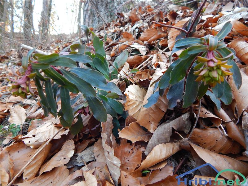 Mandljevolistni mleček (Euphorbia amygdaloides) - PictureMandljevolistni mleček (Euphorbia amygdaloides)