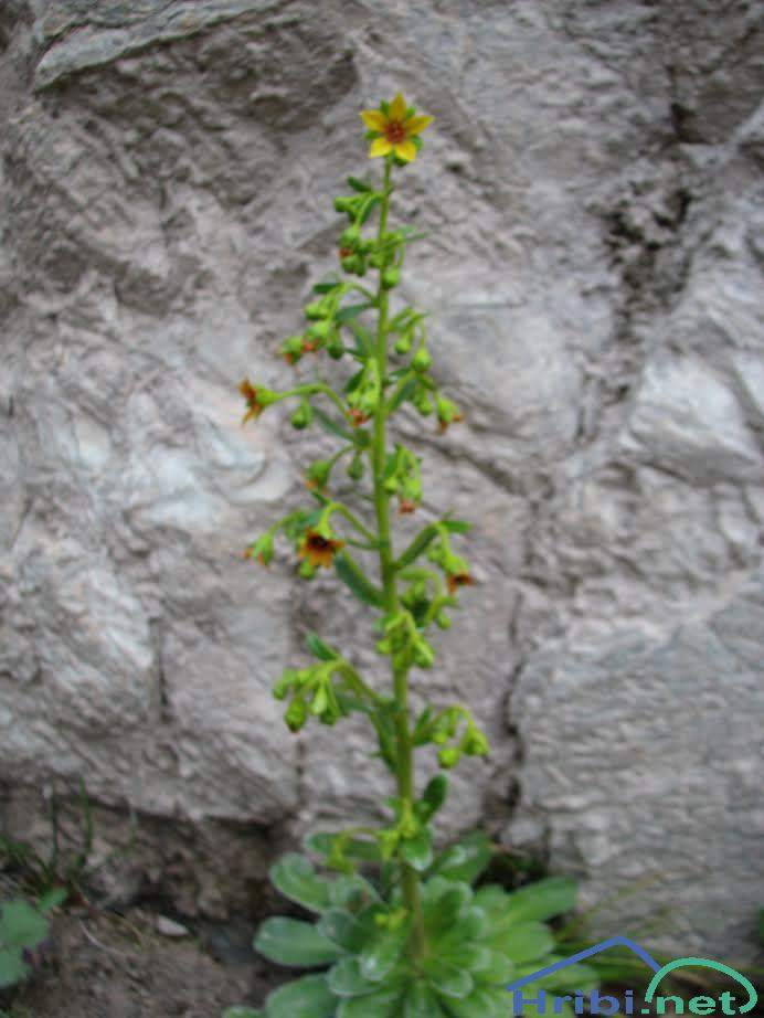 Spremenjeni kamnokreč (Saxifraga mutata) - PictureSpremenjeni kamnokreč (Saxifraga mutata), foto Velkavrh.