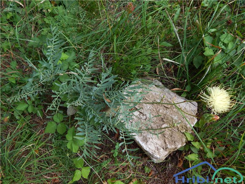 Alpski glavinec (Centaurea alpina) - PictureAlpski glavinec (Centaurea alpina), slikan julija na Guri.