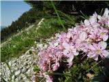 Dwarf Alpenrose (Rhodothamnus chamaecistus)