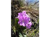 KomenNi veliko cvetov te lepotice