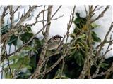 Hranjenje pticDomači vrabec