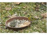 Hranjenje pticČižek par