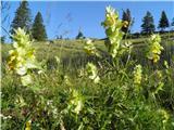 Rhinanthus glacialis