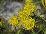Zlata nebina (Aster linosyris)