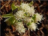 White Butterbur (Petasites albus)
