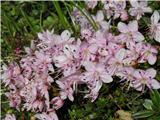 Navadni slečnik (Rhodothamnus chamaecistus)