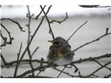 Hranjenje pticMalo pregleda okolico predno sede na tla