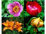 Katera rožca je to?P.officinalis, P.peregrina, brstična in kranjska lilija