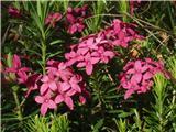 Katera rožca je to?Dišeči volčin....kar dolgo cveti na Grmadi. Prvega sem našel še v snegu.