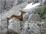 kozorogova koza