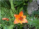 Brstična lilija (Lilium bulbifera)