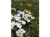 Kuštravi oklep (Adrosace villosa)