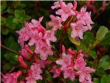 Koča pri izviru ZavršniceDlakavi sleč (Rhododendron hirsutum)