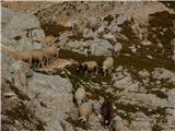 Na Triglav?Ovce ob poti