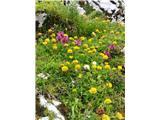 MangartSkoraj do vrha me spremlja vse mogoče cvetje