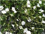 Koroška smiljka (Cerastium carinthiacum subsp. carinthiacum)