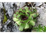 Catalonian Houseleek (Sempervivum tectorum)