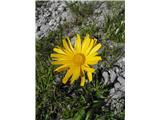 Vrbolistni primožek (Buphthalmum salicifolium)