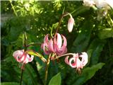 Turška lilija (Lilium martagon)