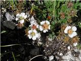 Clusijev petoprstnik (Potentilla clusiana)
