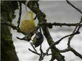 Hranjenje pticPlavček