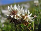 Trifolium repens
