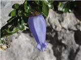 Katera rožca je to?Zoisova zvončica