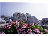 Stenar- Triglavske rože  lepšajo pot