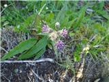 Alpska kosmatulja (Saussurea alpina)