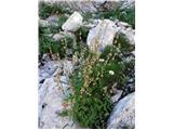 Ščitasta kislica (Rumex scutatus)