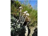 Navadna majnica (Antennaria dioica)