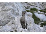 Čudovita naravamladič kozoroga