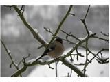Hranjenje pticKalin samička