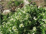 Grenka penuša (Cardamine amara)