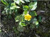 Kosmata zlatica (Ranunculus lanuginosus)