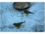 Hranjenje pticZelenec