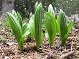 Kipeča pomlad ... 1. maja 2012 med potjo na Debelo peč