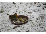 Hranjenje pticIma rada kašo in drobno nariban loj