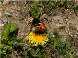Mali koprivar (Aglais urticae)