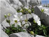 Cerastium carinthiacum subsp. carinthiacum