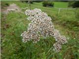 Navadni rman (Achillea millefolium)
