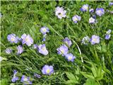 Julijski lan (Linum julicum)