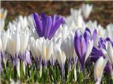 Katera rožca je to?Pomladanski žafran v beli varianti - nunka