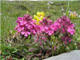 Vretenčasti ušivec (Pedicularis verticillata)