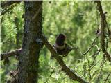 Komatar (Turdus torquatus)