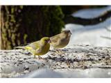 Hranjenje pticAli sta to zelenca - parček? Spredaj on, zadaj pa ona?