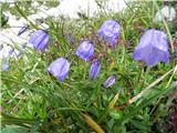 Trebušasta zvončica (Campanula cochleariifolia)
